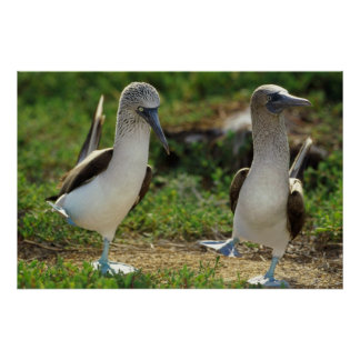 Blue footed Boobies feet poster