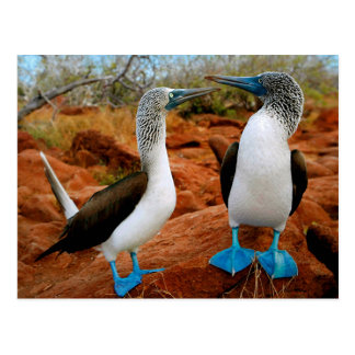 Blue footed Boobies (Sula nebouxii) Postcard
