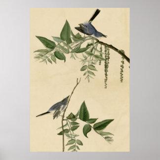 Blue Gray Flycatcher Poster