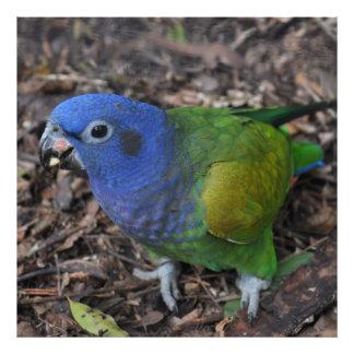 Blue Headed Amazon Parrot on ground Art Photo