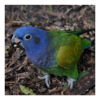Blue Headed Amazon Parrot on ground Poster
