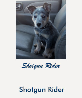 """Blue Heeler """"Shotgun Rider"""" Women's T-shirt"""