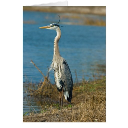 Blue Heron at Pond Card