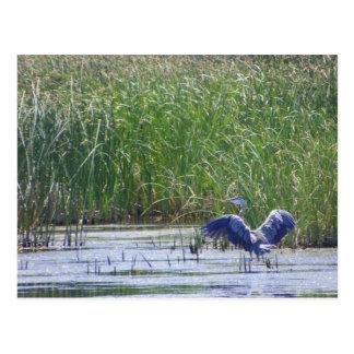 Blue Heron at Stillwater wildlife refuge Fallon, N Postcards