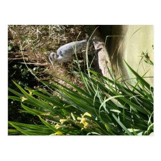 Blue Heron at the San Diego Zoo Postcard