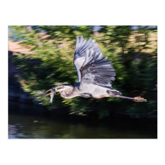 Blue heron in flight carrying a fish. postcard