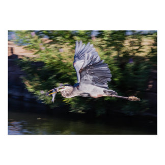 Blue heron in flight with fish posters
