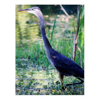 Blue Heron In Pond Postcard