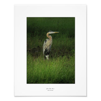 Blue Heron in Shaded Grass Photo