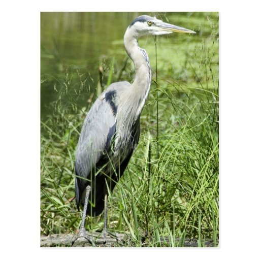 Blue Heron Post Cards