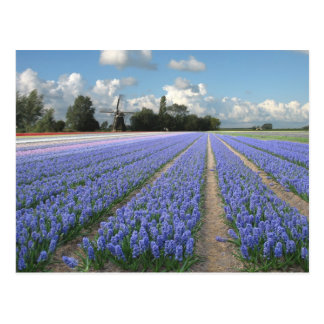 Blue Hyacinth Flowers in a Field Holland Postcard