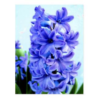 Blue Hyacinth Postcard