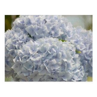 Blue Hydrangeas Postcard