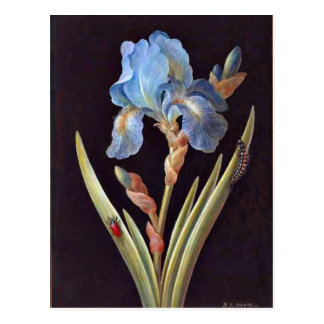 Blue Iris (germanica) Postcard