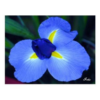 Blue Iris Postcard
