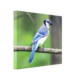 Blue Jay Canvas Print