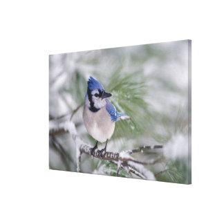 Blue Jay, Cyanocitta cristata Canvas Print