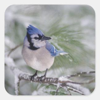 Blue Jay, Cyanocitta cristata Square Sticker