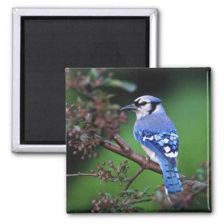 Blue Jay, Cyaoncitta cristata 2 Square Magnet