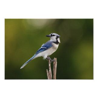 Blue Jay, Cyaoncitta cristata Photo Print