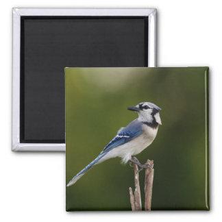 Blue Jay, Cyaoncitta cristata Square Magnet