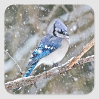 Blue Jay in a Snowstorm Square Sticker
