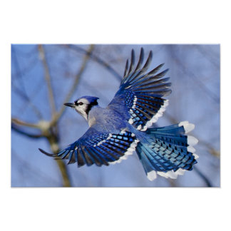 Blue Jay in Flight Poster