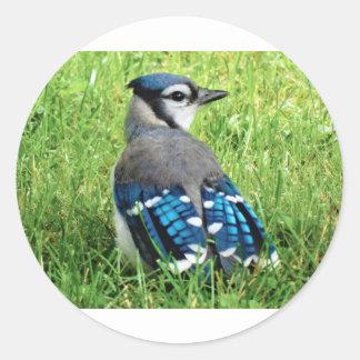 Blue Jay in the Grass Round Sticker