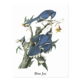 Blue Jay, John Audubon Postcard