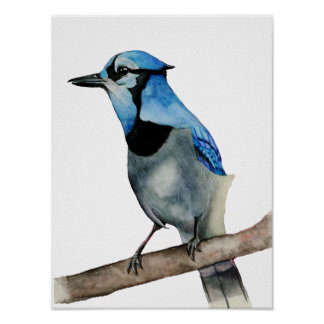 Blue Jay on Branch Watercolor Painting Poster