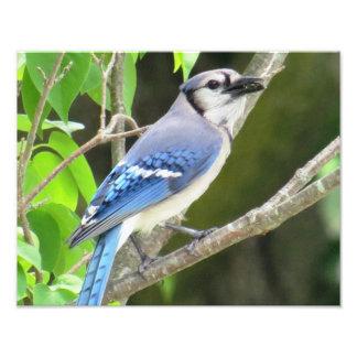 Blue Jay Photo Print