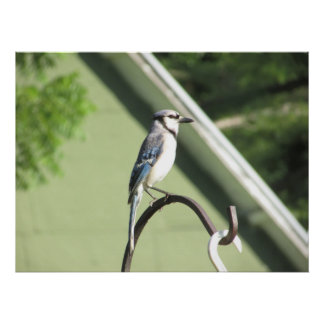 Blue Jay Photograph Poster