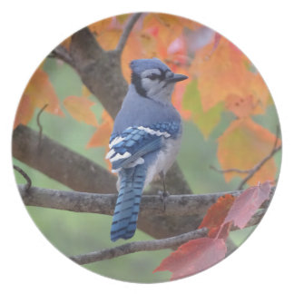 Blue Jay Plate