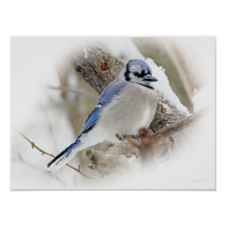 Blue Jay Songbird in Snow Poster