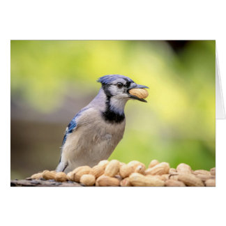 Blue jay with a peanut card
