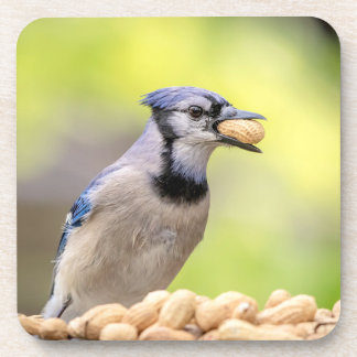 Blue jay with a peanut coaster