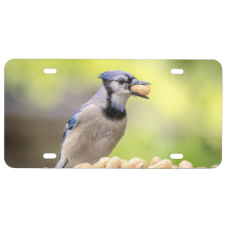 Blue jay with a peanut license plate