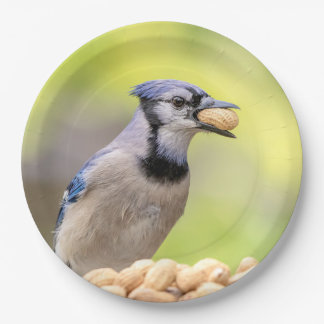 Blue jay with a peanut paper plate