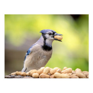 Blue jay with a peanut postcard