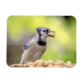 Blue jay with a peanut rectangular photo magnet