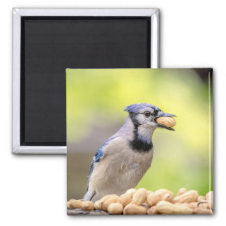 Blue jay with a peanut square magnet