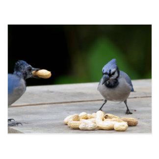 Blue Jays getting a peanut Postcard