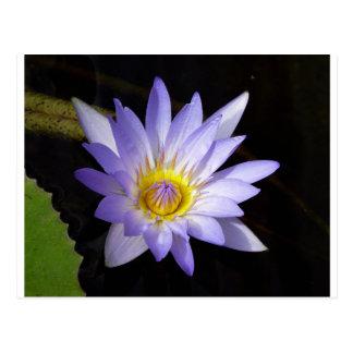 blue lotus of the Nile Postcard