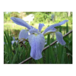 Blue Louisiana Iris Postcard