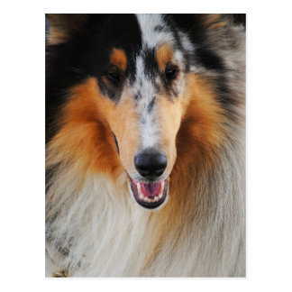 Blue Merle Collie Photograph Post Cards