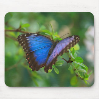 Blue Morpho Butterfly Mouse Pad