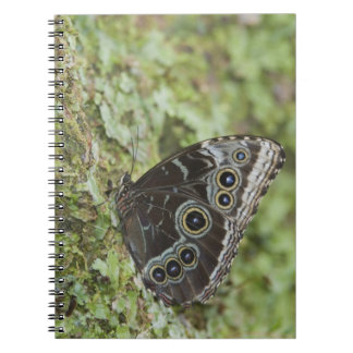 Blue Morpho, Morpho menelaus, adult newly 2 Notebook