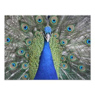 Blue Peacock Portrait Photo Print