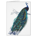 Blue Peacock with beautiful tail feathers Greeting Card