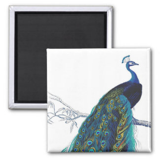 Blue Peacock with beautiful tail feathers Square Magnet